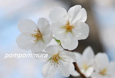 桜2014-5