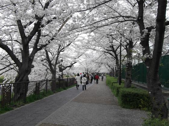 桜140404_03