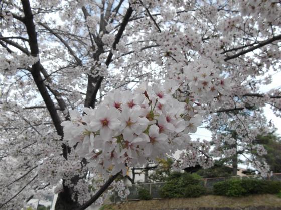 桜140404_04
