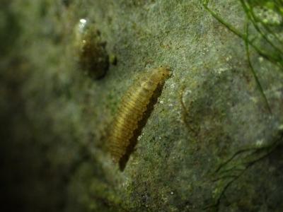 ヨナグニシジミガムシ幼虫