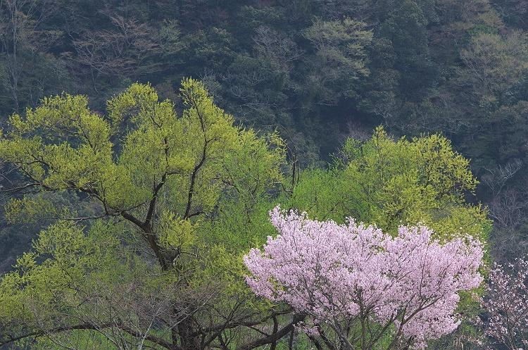 川根路の春