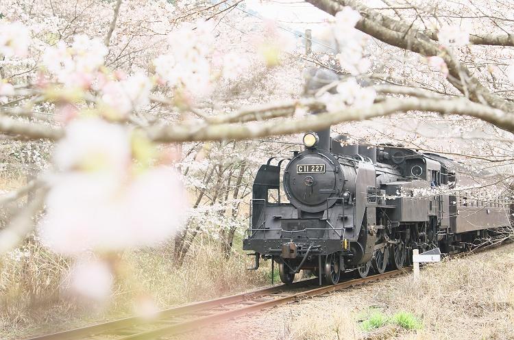 桜並木をゆく