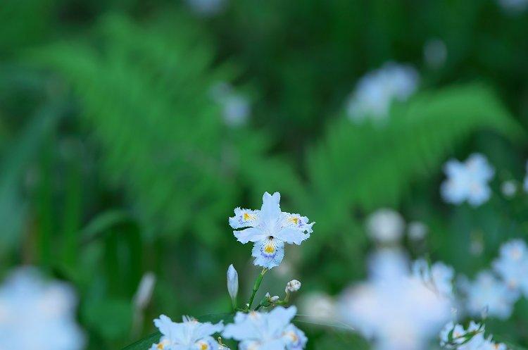 シャガが咲く季節