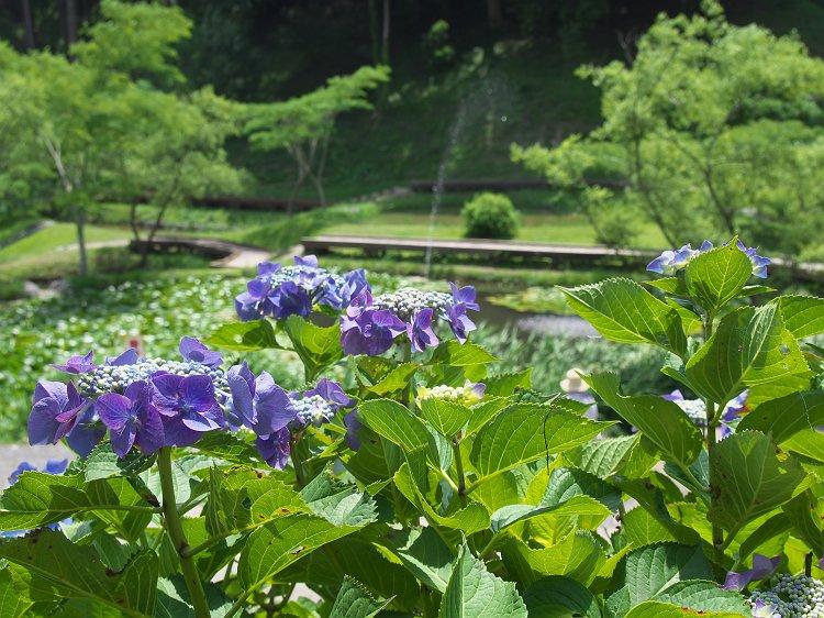 紫陽花・菖蒲が咲く公園 2