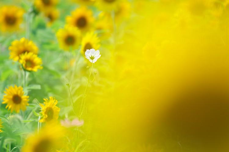 ひまわりの咲く夏