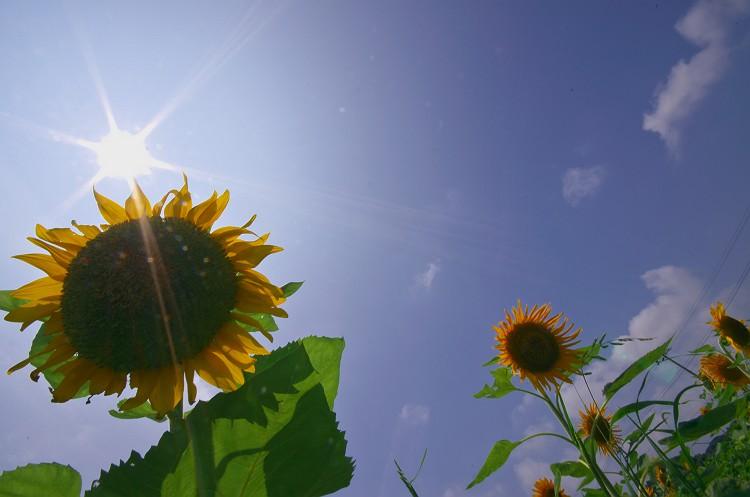 ひまわりの咲く夏 2