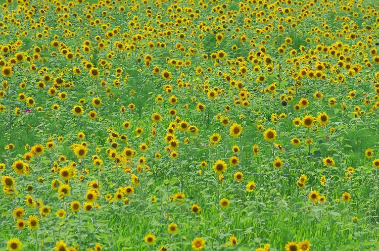 ひまわりの咲く夏 3