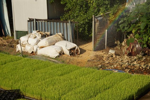 稲の苗に水をあげると虹
