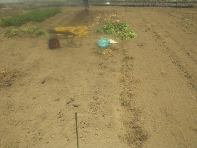 田んぼに植えたジャガイモをホリホリ