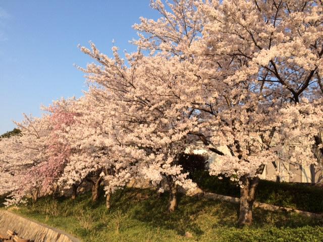 好古館桜3