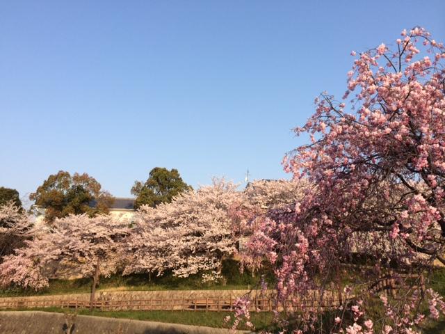 好古館桜5