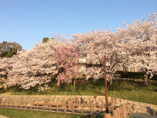 好古館桜4