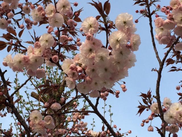 小野高八重桜1