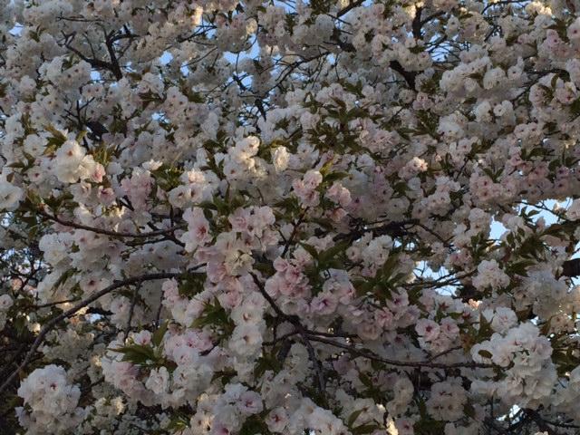 アマダ八重桜