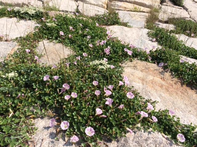 浜辺の花2