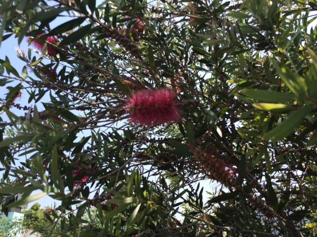 ブラシの木赤