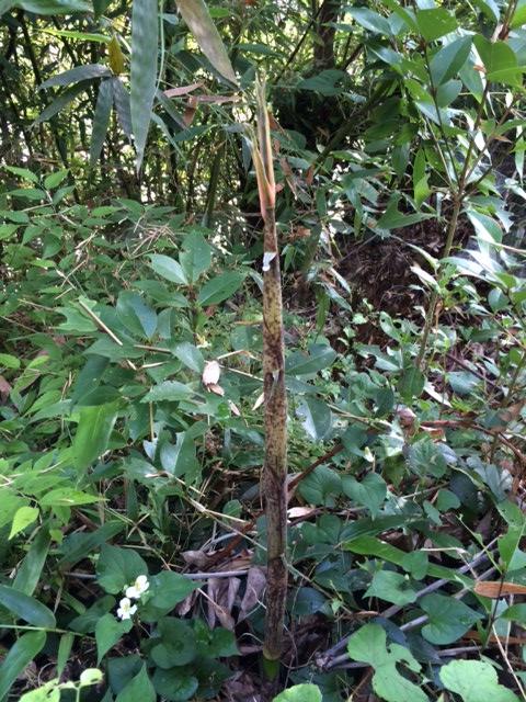 裏、竹の子1