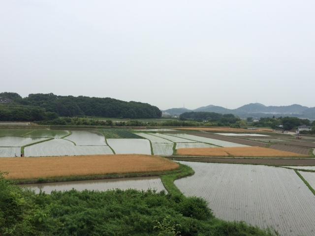 麦と田んぼ