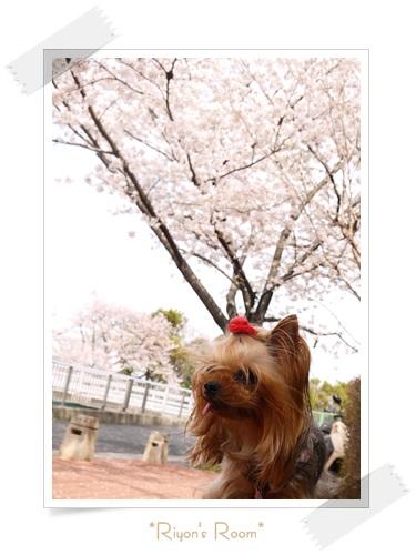 桜とリヨン