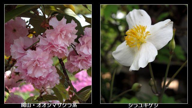 桜とヒナゲシ