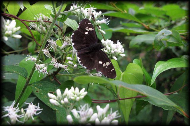 コボタンヅルと蝶