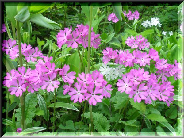 白とピンクのさくら草