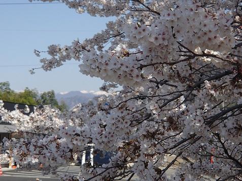 桜と草津の山