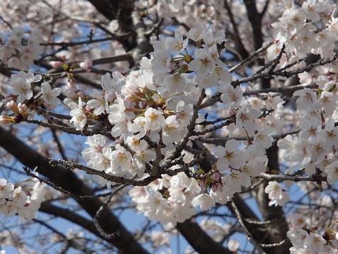 小野上温泉の桜