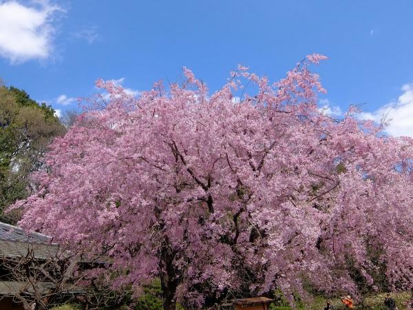 新宿御苑・桜・追加1