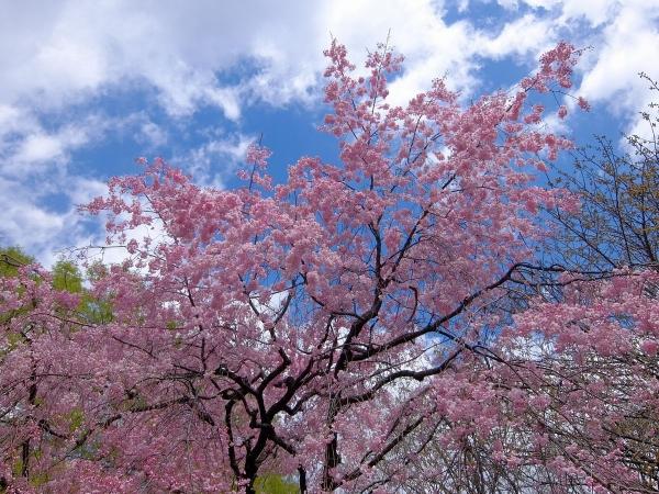 新宿御苑・桜・追加2