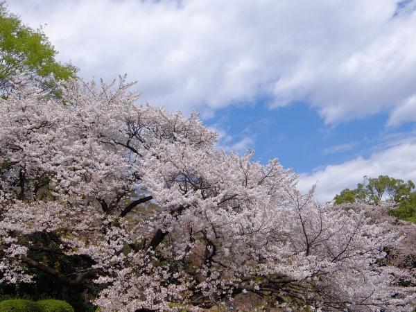 新宿御苑・桜・追加3
