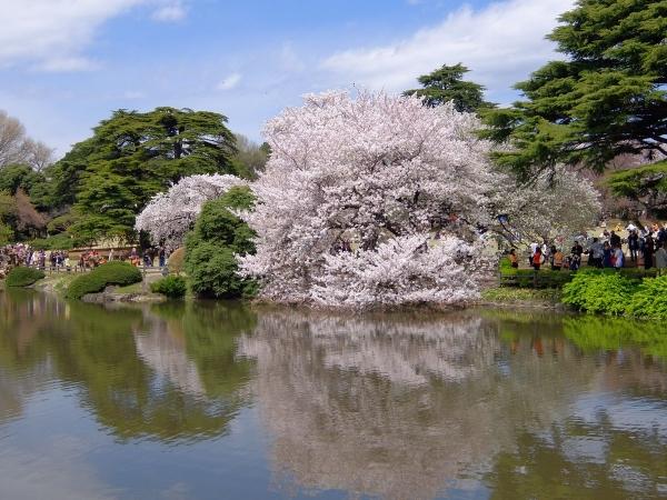 新宿御苑・桜・追加4