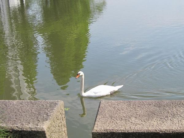 白鳥1-2〔フリー写真〕