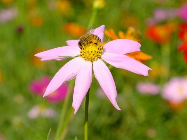 花と蜂2-2〔フリー写真〕
