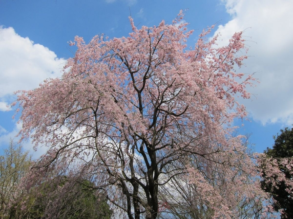 桜1〔フリー写真〕