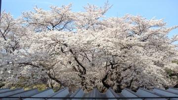 20140401-桜