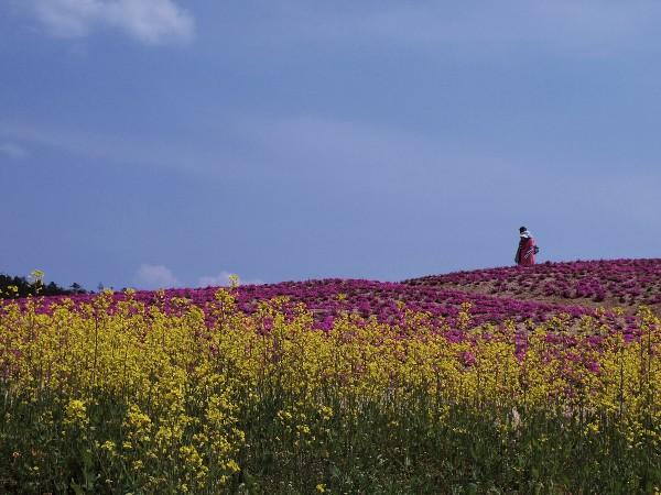 広島県世羅郡世羅町 花夢の里  芝桜