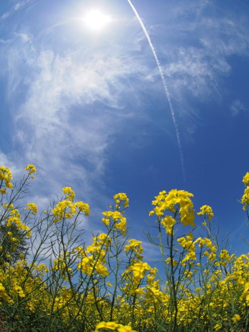 飛行機雲と菜の花
