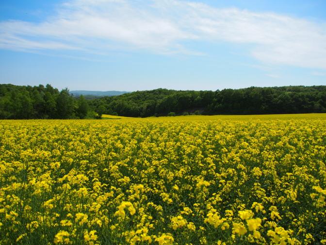広大な菜の花畑