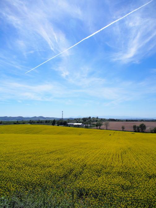 菜の花畑と飛行機雲
