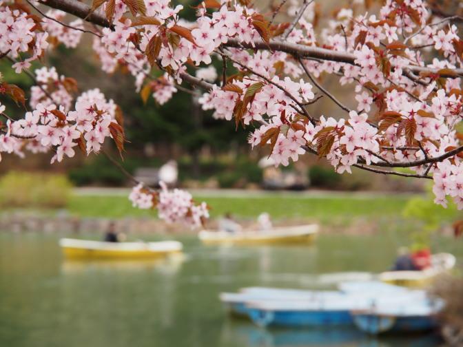 2013年の中島公園の桜