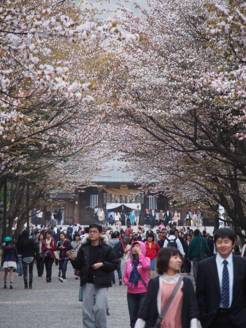 2013年の北海道神宮の桜