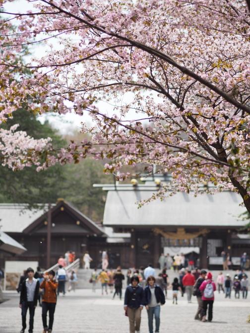 2014年の北海道神宮の桜