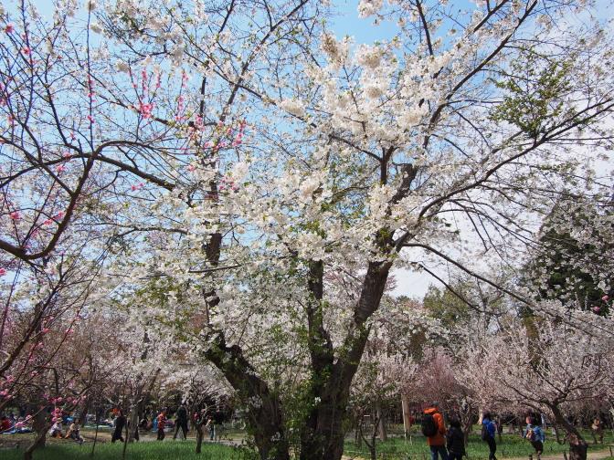 梅林に咲く桜