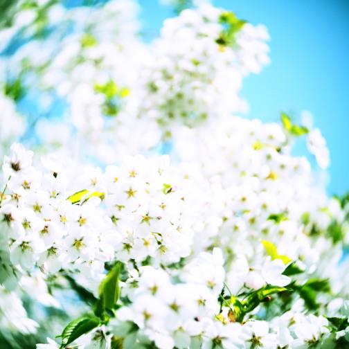 桜の花びら(トイレンズ)