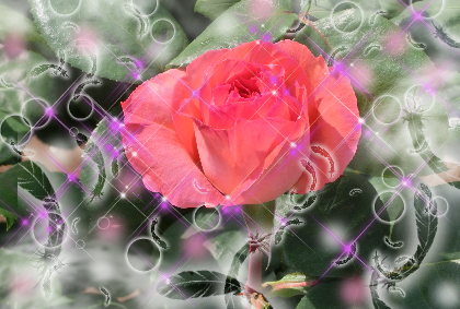 薔薇ピンク1