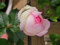実家のバラ1