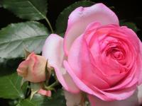 実家のバラ2