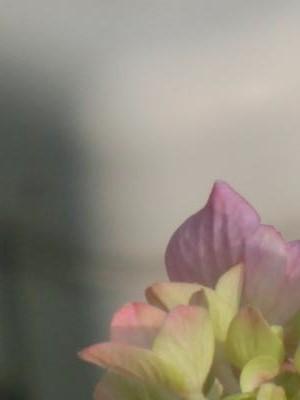 写真紫陽花2014年度1
