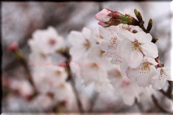 Sakura0003